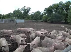 Фермерам подложили «налоговую» свинью